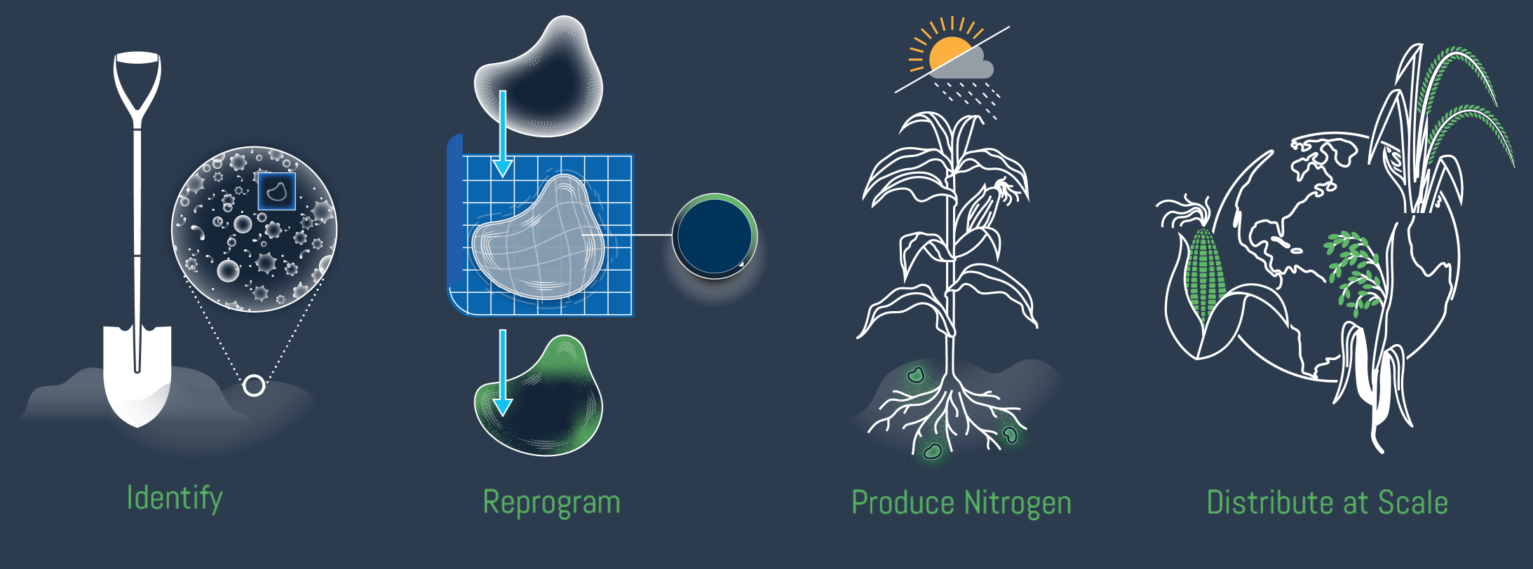Illustration showing stages of modifying and deploying nitrogen-producing microbes.